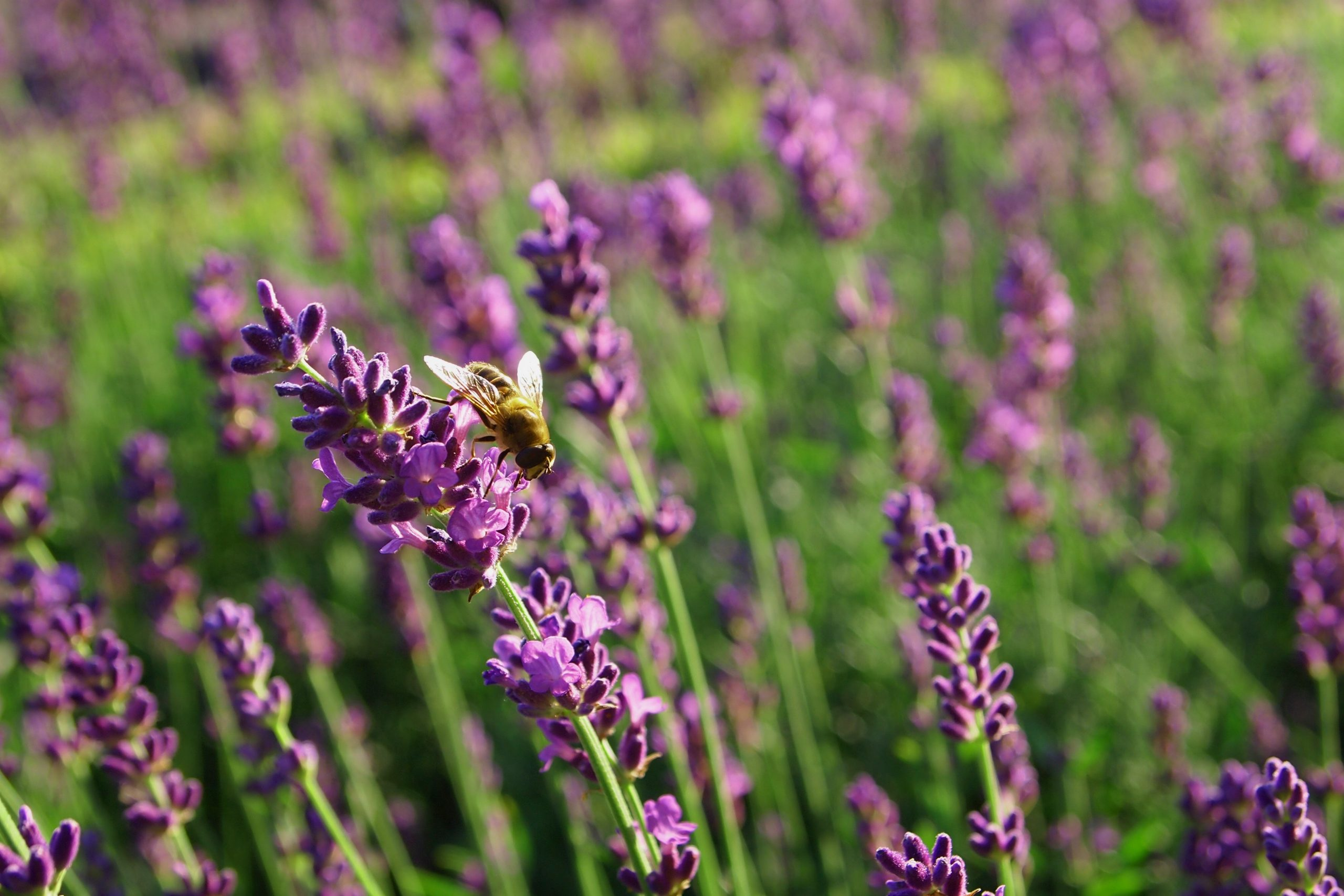 Lavender Pillow Mists - Why Are They Effective